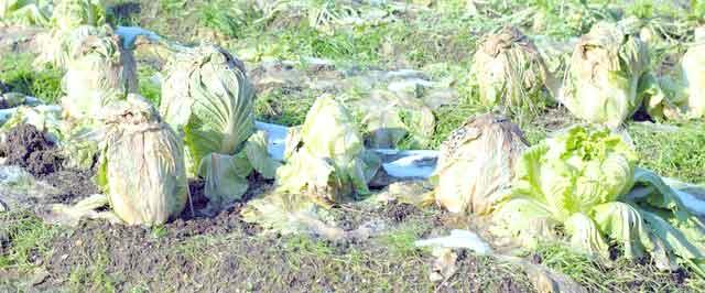 白菜の畑保存