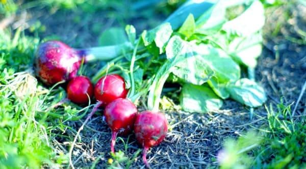 ラディッシュの栽培・育て方(畑・プランター)