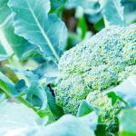 ブロッコリーの失敗しない育て方!種まき・害虫時期プランターの栽培も
