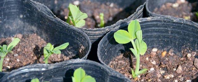 ブロッコリーのポリポット植え