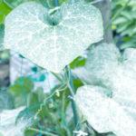 うどんこ病の症状と対策。きゅうり、かぼちゃの葉が真っ白!