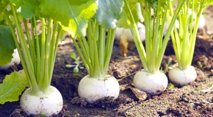 カブの栽培と失敗しない育て方。畑・プランターで春と秋まき