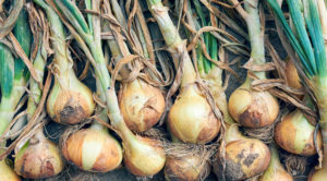 玉ねぎの育て方!手間いらず!土寄せ・水やり・肥料・栽培方法