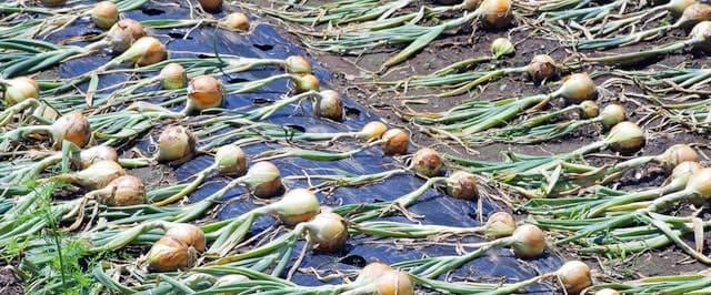 玉ねぎの乾燥