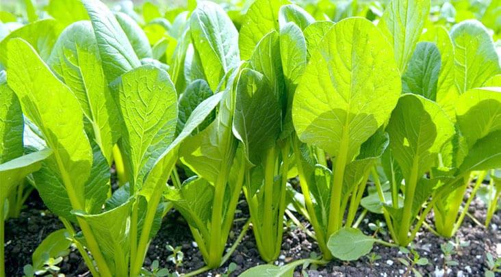 小松菜の栽培と育て方のコツ。畑・プランター