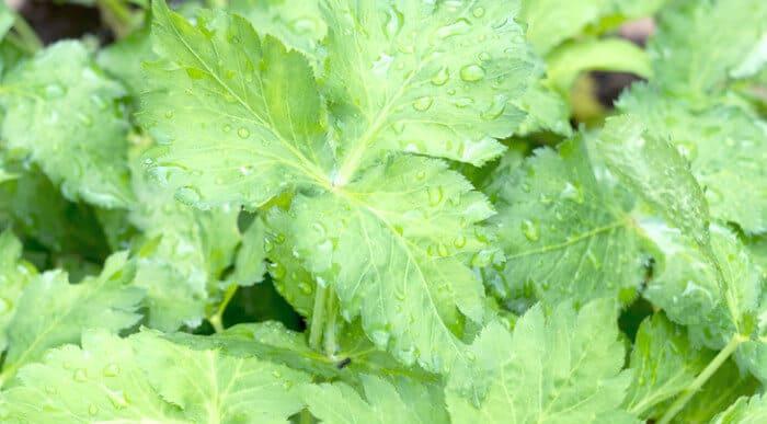 三つ葉の栽培と育て方のコツ。畑・プランターで病気から守る!