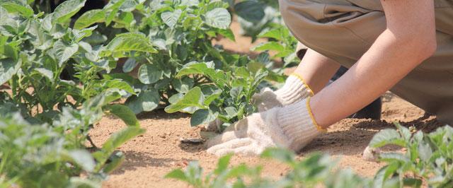 ジャガイモの芽かき