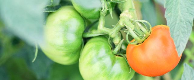 トマトの実り