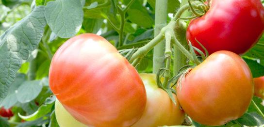 中玉・大玉トマト