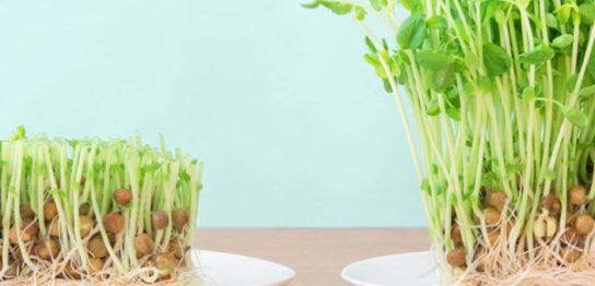 豆苗の再生栽培の育て方