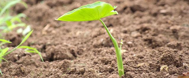 里芋の発芽