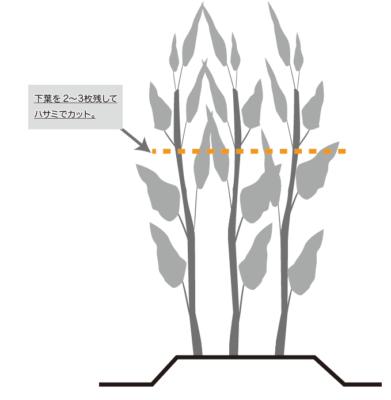 空芯菜の収穫