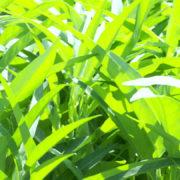空芯菜の育て方
