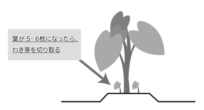 里芋のわき芽とり