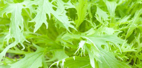 水菜の育て方