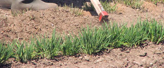 ニラの追肥と土寄せ