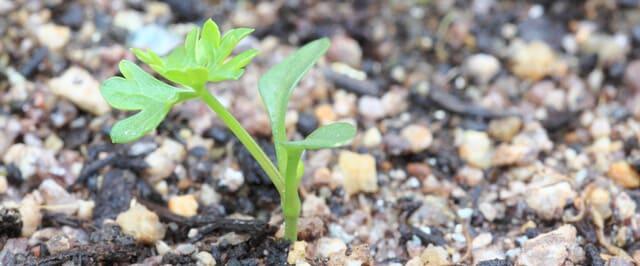 パセリの発芽