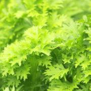 カラシナの栽培