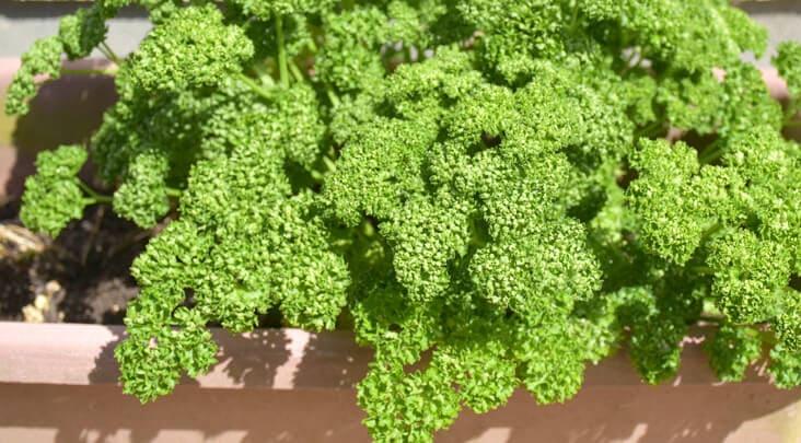 パセリのプランター栽培方法