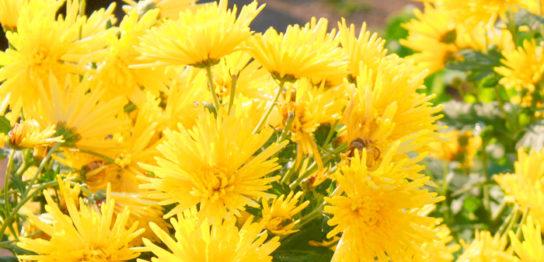 食用菊の育て方の様子