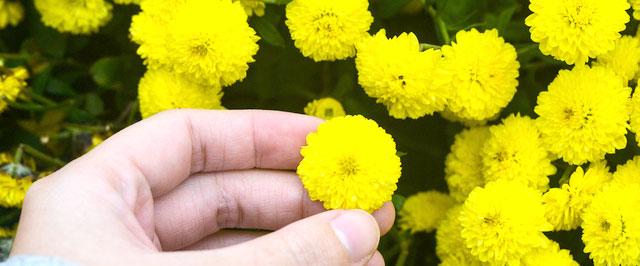 食用菊の収穫の様子